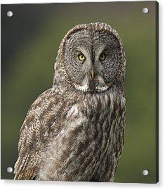 Great Gray Owl Portrait Acrylic Print by Doug Herr