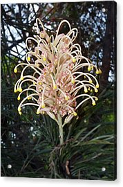 Acrylic Print featuring the photograph Grevillea Misty Pink by Odille Esmonde-Morgan