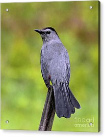 Acrylic Print featuring the photograph Grey Catbird by Debbie Stahre