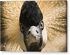 Grey Crowned Crane Acrylic Print by Chad Davis