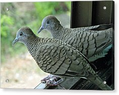 Grey Doves Acrylic Print by Russell Pittock