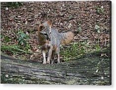 Grey Fox Acrylic Print