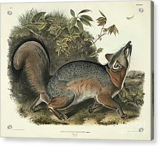 Grey Fox Acrylic Print by John James Audubon
