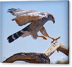 Grey Hawk Alights Acrylic Print