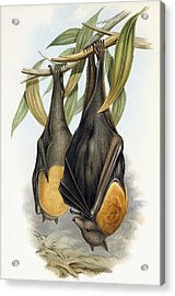 Grey Headed Flying Fox, Pteropus Poliocephalus Acrylic Print