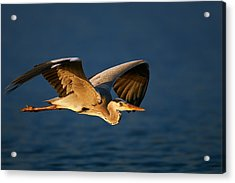Grey Heron In Flight Acrylic Print