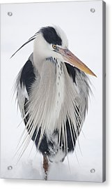 Grey Heron In The Snow Acrylic Print
