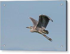 Grey Heron Acrylic Print