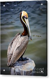 Grey Pelican Acrylic Print by Inge Johnsson