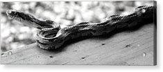 Grey Rat Snake Acrylic Print
