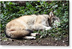 Grey Wolf - 0008 Acrylic Print by S and S Photo