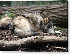 Grey Wolf - 0011 Acrylic Print by S and S Photo