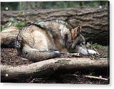 Grey Wolf - 0011 Acrylic Print