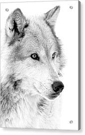 Grey Wolf Profile Acrylic Print