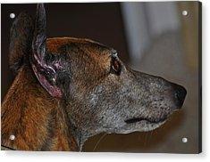 Greyhound Acrylic Print by Peter  McIntosh