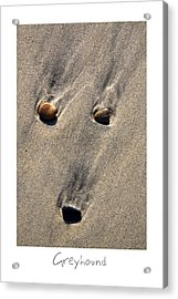 Greyhound Acrylic Print by Peter Tellone