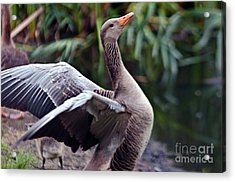 Acrylic Print featuring the photograph Greylag Goose Poetry by Silva Wischeropp