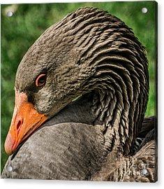 Greylag Goose Portrait  Acrylic Print by Gary Whitton