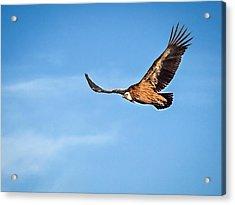 Acrylic Print featuring the photograph Griffon Vulture by Meir Ezrachi