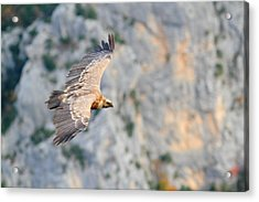 Griffon Vulture Acrylic Print by Richard Patmore