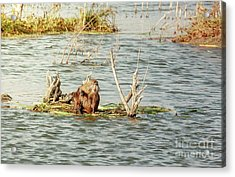 Acrylic Print featuring the photograph Grinning Nutria On Reeds by Robert Frederick