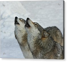 Grizzer And Maya Howling Acrylic Print by Gerry Sibell