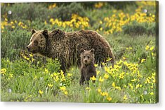 Grizzlies In The Wildflowers Acrylic Print