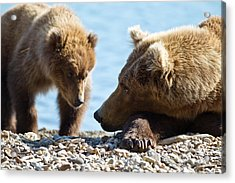 Grizzly And Cub Acrylic Print by Brandon Broderick