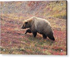 Grizzly At Denali National Park Acrylic Print