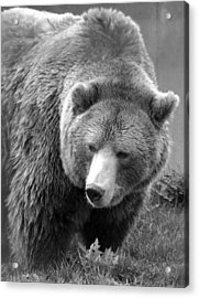 Grizzly Bear And Black And White Acrylic Print by Tiffany Vest