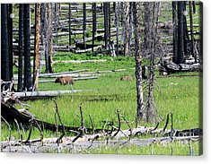 Grizzly Bear And Cub Cross An Area Of Regenerating Forest Fire Acrylic Print by Louise Heusinkveld