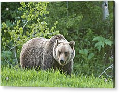 Acrylic Print featuring the photograph Grizzly Bear by Gary Lengyel