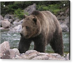 Grizzly Bear Acrylic Print by Kathie Miller