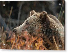 Grizzly Bear Portrait In Fall Acrylic Print