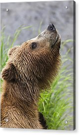 Grizzly Bear Sniffing Air While Fishing Acrylic Print by Lucas Payne