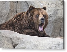 Grizzly Bear Acrylic Print by Twenty Two North Photography