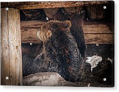 Grizzly Bear Under The Cabin Acrylic Print by Dan Pearce