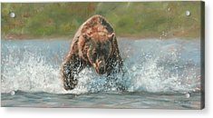 Grizzly Charge Acrylic Print by David Stribbling