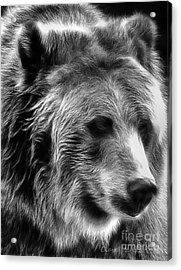 Grizzly Acrylic Print