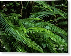 Grizzly Creek Redwoods Ferns Acrylic Print by Blake Webster
