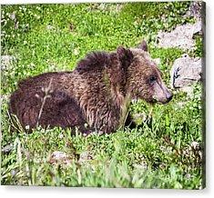 Grizzly Cub  Acrylic Print