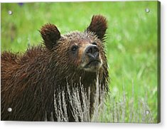 Acrylic Print featuring the photograph Grizzly Cub by Steve Stuller