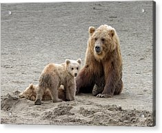 Acrylic Print featuring the photograph Grizzly Family by Phil Stone