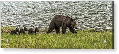 Acrylic Print featuring the photograph Grizzly Family by Yeates Photography