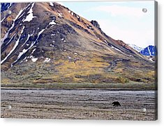 Grizzly In Denali Acrylic Print