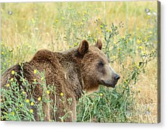 Grizzly Acrylic Print by Laurianna Taylor