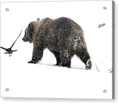 Acrylic Print featuring the photograph Grizzly by Meagan  Visser