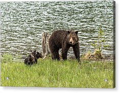 Acrylic Print featuring the photograph Grizzly Mom And Cubs by Yeates Photography