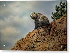 Grizzly On Top Of The World Acrylic Print