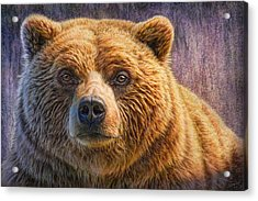 Grizzly Portrait Acrylic Print by Phil Jaeger